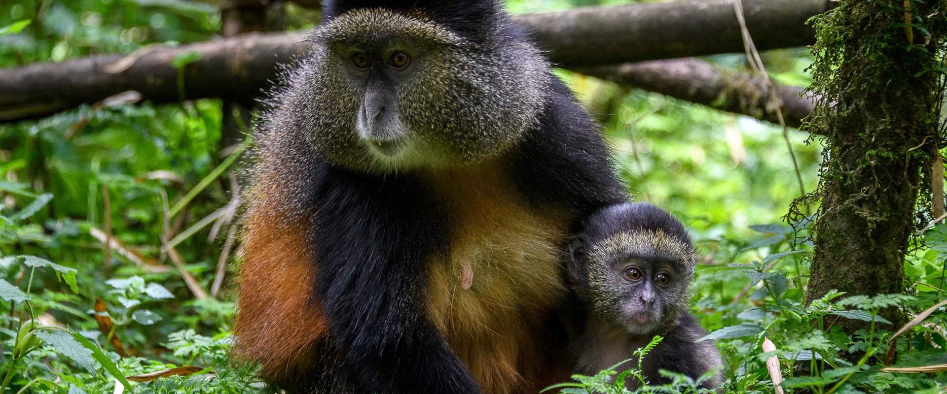 Gorillas & Golden Monkeys