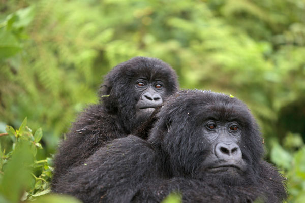 Gorilla Express Via Kigali
