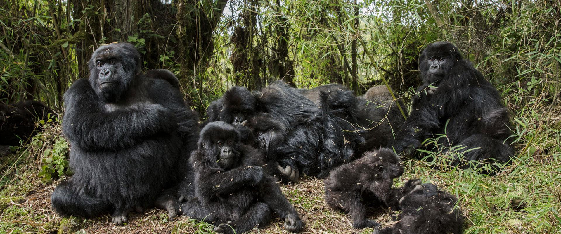 Gorilla-Habituatio-center