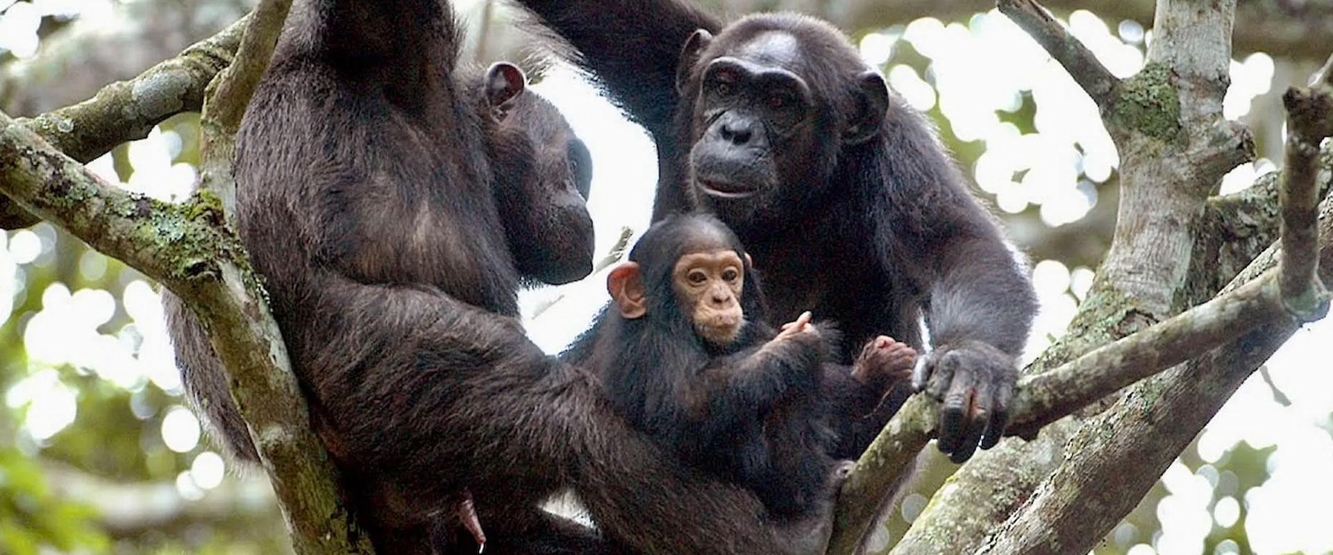 Gorilla Tracking & Nyungwe Chimp Safari