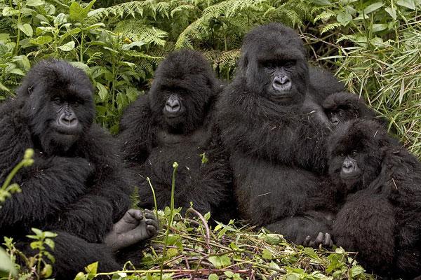 Gorillas-&-Golden-Monkeys