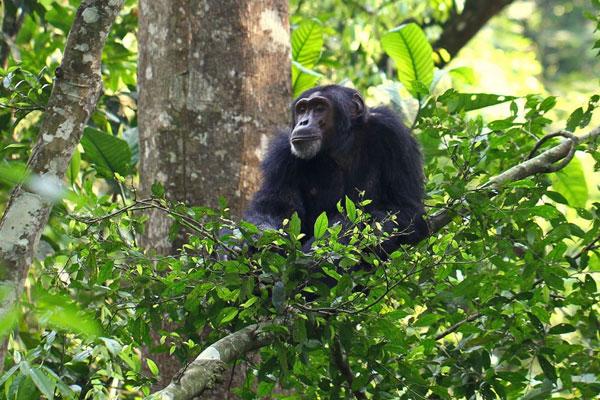 Gorillas Uganda Safaris