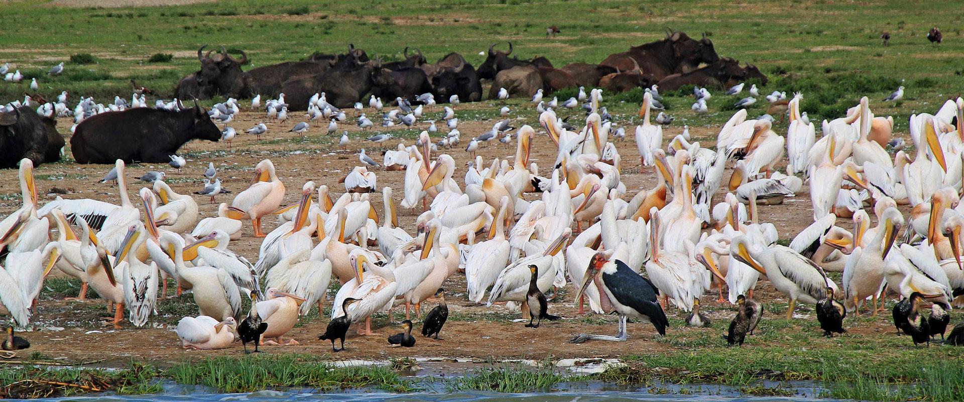 Uganda-Birding-Safari